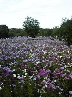 昭和記念公園☆コスモスの丘